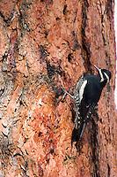 Male Williamson's Sapsucker (Sphyrapicus thyroideus) on side of ponderosa pine tree.  Western U.S.