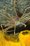 A yellowline arrow crab: Stenorhynchus seticornis amongst sponges