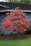 8918-CA Pink Flowering Dogwood, Cornus florida rubra well-pruned specimen in flower, McMinnville, Oregon.
