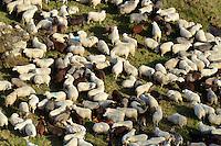 Herde : DEUTSCHLAND, HAMBURG 19.10.2012 : Herde von Schafen und Ziegen im Naturschutzgebiet Boberger Niederung