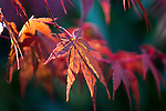 Evening sunlight illumates Red Japanese Maple leaves. ©2016. Jim Bryant Photo. ALL RIGHTS RESERVED.