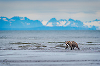 Coastal Brown Bear hauls the rewards from a successful hunt to the shallows.  Low tide at The Cook Inlet.  The mountains on the coast of the Kenai Peninsula, across the inlet, loom in the background.  Lake Clark National Park, Alaska.