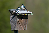 Pair of adult Tree Swallows (Tachycineta bicolor) perched on a nest box. Tompkins County, New York. May.