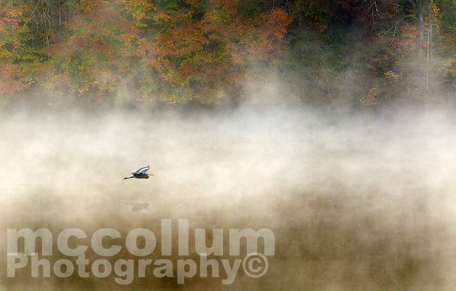 Michael McCollum<br /> 11/10/17<br /> Fall Color , blue Heron and morning mist , Knob Creek, tributary to the Tennessee River, south Knoxville Tennessee.