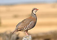 Red-legged Partridge - Alectoris rufa