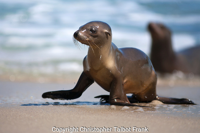 USA, California, San Diego, Baby Sea Lion in La Jolla.