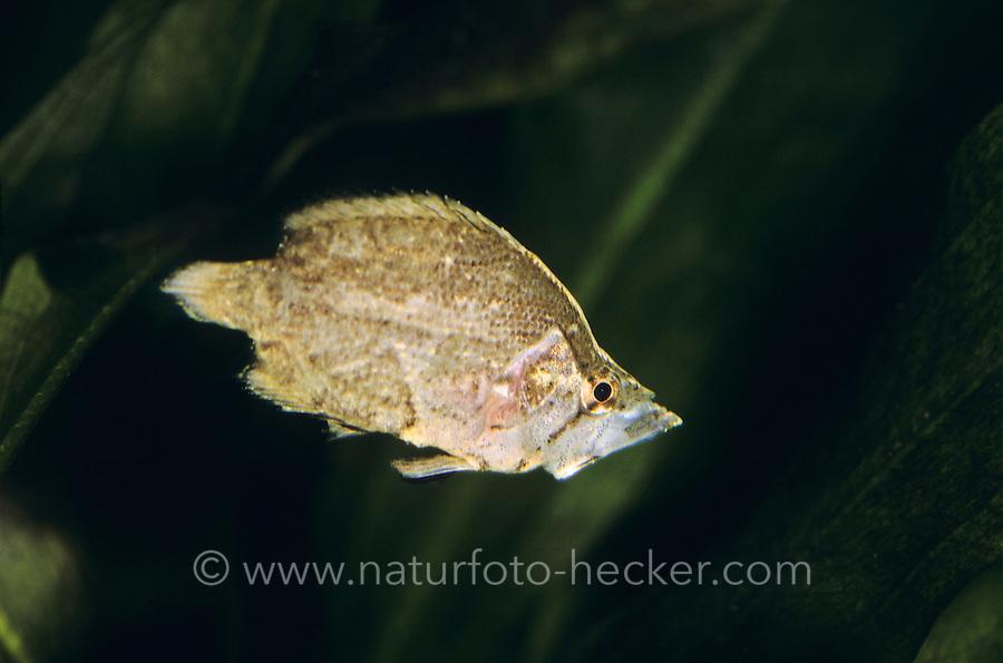 Südamerikanischer Blattfisch, Blattfisch, Monocirrhus polyacanthus, Amazon leaffish, Le poisson feuille