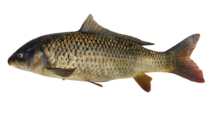Carp Cyprinus carpio Length 25-80cm<br /> Carp are introduced to Britain but long-established in lakes and flooded gravel pits across the region. The ancestral form has a golden-olive colour and even-sized scales; so-called Leather and Mirror Carps are variations with variable size or missing scales. All carp feed on bottom-living invertebrates and plants.