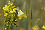 butterfly, Alexandra's Sulphur, Colias alexandra, nature, foliage, insect, Cow Creek watershed, Rocky Mountain National Park, summer, Rocky Mountains, Colorado, USA