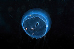 Aequorea juvenile, jellyfish planktonic creature, marine life, black water diving