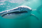Bahia de los Angeles, Sea of Cortez, Baja California, Mexico; a close up view of a small, juvenile Whale Shark (Rhincodon typus) swimming just below the water's surface