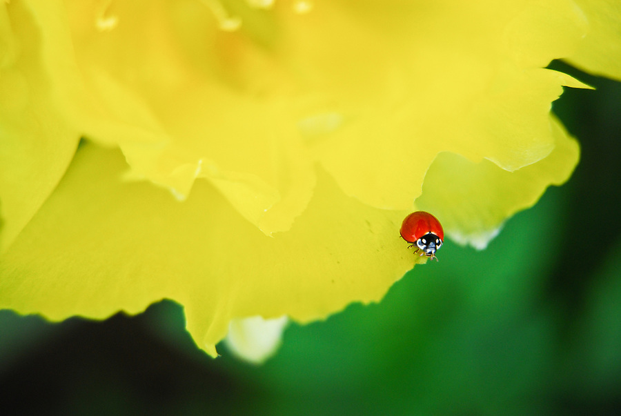 Macro of a small, red ladybug on a yellow prickly pear cactus flower.