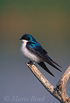 Tree Swallow (Tachycineta bicolor), New York, USA <br /> Slide # B114-226