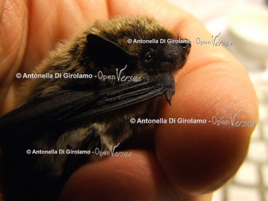 Pipistrelli.Bats. Hypsugo Savii..Le foto sono messe gentilmente a disposizione dal prof. Paolo Agnelli, responsabile del progetto del dipartimento di zoologia dell'Università di Firenze...