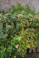 Rosa rugosa Rugosa rose in rosehips in autumn with one flower, leaves turning color, picket fence, stone wall of house