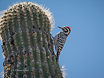 Ladderback Woodpecker on Saguaro