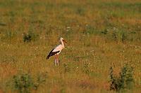 Weißstorch, Weiß-Storch, Weissstorch, Storch, auf Wiese nach Nahrung suchend, Wiesenvogel, Ciconia ciconia, White Stork, Cigogne blanche