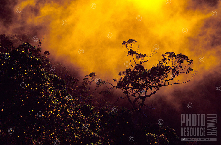 Ohia lehua tree at sunset, in the mist of Kalalau Valley from Puu o Kila Overlook, Kokee State Park.