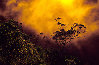 Ohia lehua tree at sunset, in the mist of Kalalau Valley from Puu o Kila Overlook, Kokee State Park.