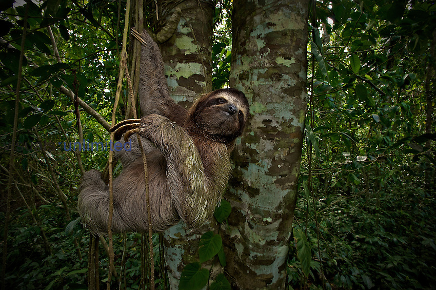 Three-Toed Sloth (Bradypus variegatus), Perezoso de Tres Dedos, Cahuita, Caribe, Costa Rica