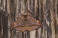 Erlen-Sichelflügler, Erlensichelflügler, Erlensichler, Erlen-Sichler, Drepana curvatula, Drepana acuta, Dusky Hook-tip, Sichelflügler, Drepanidae, hooktip moths