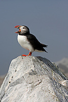 Atlantic Puffin Calling  #P24