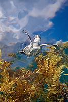 green sea turtle, Chelonia mydas, hatchling, in sargassum weed, Florida, USA, Atlantic Ocean (CR)