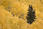 A lone conifer tree in a stand of Quaking Aspens in the fall.