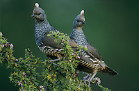Scaled Quail, Callipepla squamata,pair on blooming Guayacan (Guaiacum angustifolium), Starr County, Rio Grande Valley, Texas, USA