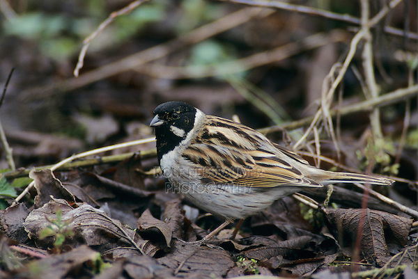 Common Reed Bunting, Emberiza schoeniclus, male, Lachen, Switzerland, April 1998