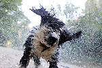 Estella-Lizarra.Navarra.Espana.Estella-Lizarra.Navarra.Spain.Perro de aguas espanol..Spanish water dog..(ALTERPHOTOS/Alfaqui/Acero)