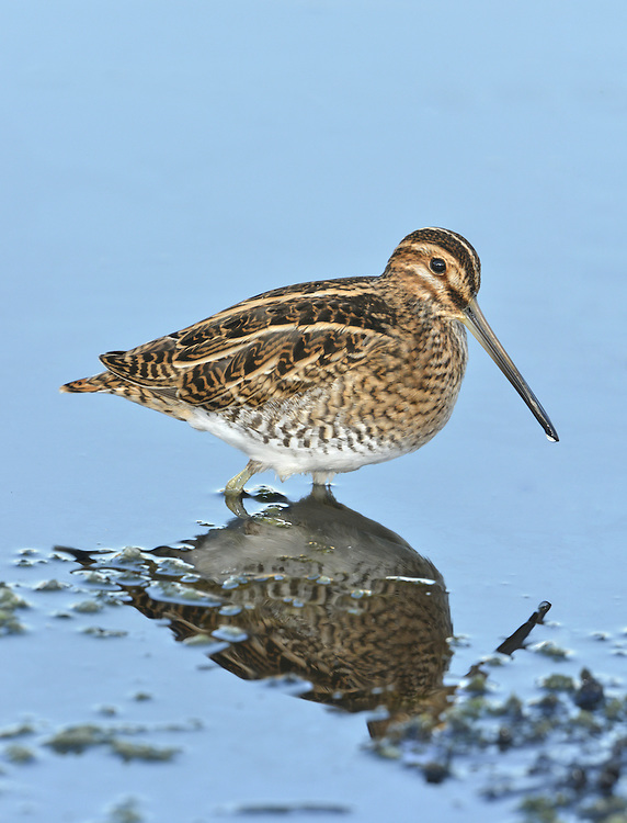 Common Snipe - Gallinago gallinago L 25-28cm. Distinctive, even in silhouette: has dumpy body, rather short legs and very long, straight bill. Feeds by probing bill in a sewing machine-like manner. Sexes and ages are similar. Adult and juvenile have mainly buffish brown upperparts, beautifully patterned with black and white lines and bars. Note distinctive stripes on head, streaked and barred breast and flanks, and white underparts. Voice Utters one or two sneeze-like kreech calls when flushed. Performs 'drumming' display in breeding season: sound caused by vibrating tail feathers. Status Locally common and invariably associated with boggy ground. In breeding season, favours marshes, meadows and moorland bogs. Winter numbers boosted by migrants and then found on wide range of wetland habitats. Sadly, tens of thousands of birds are shot each year.