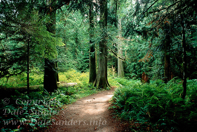 700-17665.© Dale Sanders.Path Through Cathedral Grove.Provincial Park, Vancouver Island.British Columbia, Canada