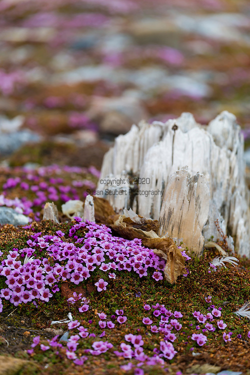 Purple saxifrage growing near wood that was at one point part of a trapper's cabin, Gnalodden, Svalbard, Norway