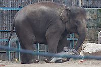 Two week old captive born baby Asian elephant named Asha fell while walking with her mother Angele who gave birth on 14th February in the City Zoo in Budapest, Hungary on March 01, 2013. ATTILA VOLGYI