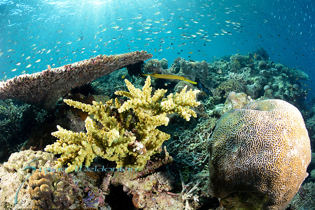 Sunlit reef with Yellow Trumpet , Larantuka, eastern end of Flores Island, East Nusa Tenggara, Indonesia. ,