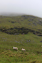 06/06/12 - CONNEMARA - GALWAY COUNTY - EIRE - Moutons de Galway dans les Highlands - Photo Jerome CHABANNE