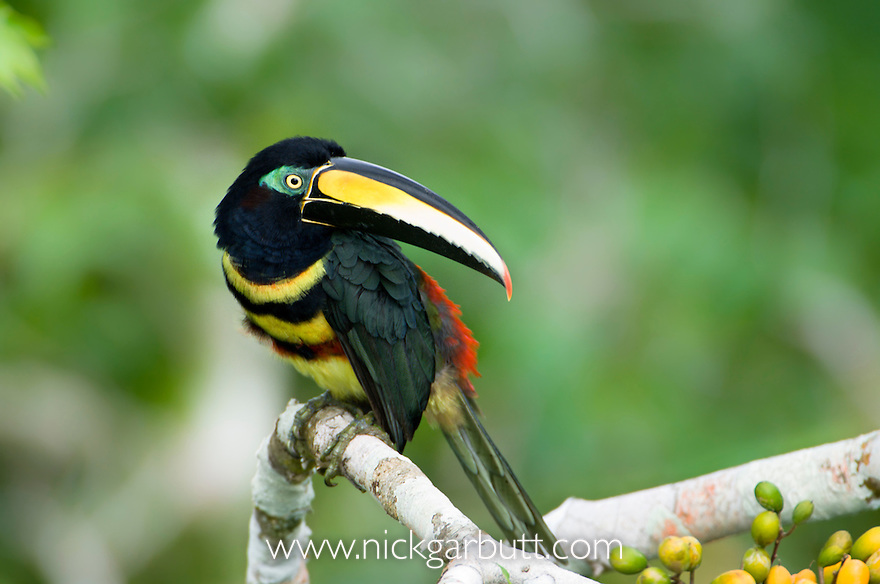 Many-banded Aracari (Pteroglossus pluricinctus). Rainforest canopy, Napo River, Amazonia, Ecuador.