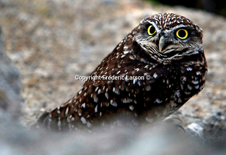 A burrowing owl found underneath a rock in a protected wetland area of San Rafael, California.