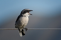 Loggerhead Shrike, Texas roadside