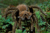 392170001 a wild tarantula family aphonopelma crawls among native plants in the rio grande valley of texas