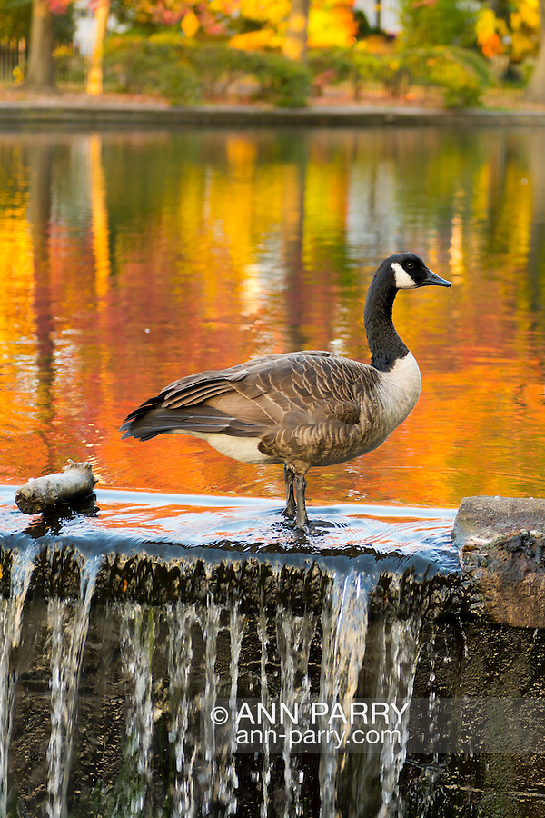 Port Washington, New York, U.S. 27th October 27, 2013. A Canada goose stands on a stone wall dam in pond, with colorful reflections of fall foliage reflected in water, at a North Shore park on Long Island at dusk.