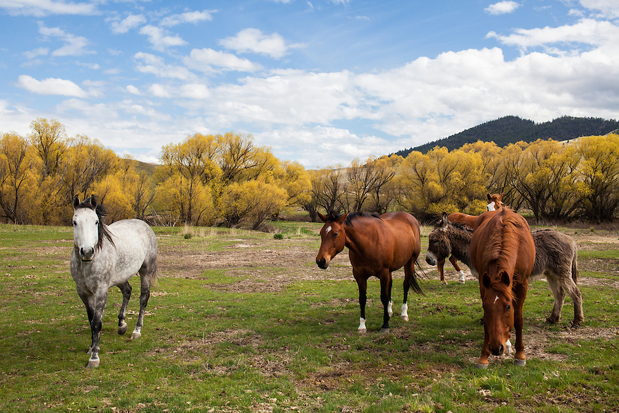 Horses bow in submission to their elder on a grassy pasture with bright yellow trees in Western Montana under a blue sky with puffy white clouds.