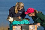 Santa Catalina Island Fox (Urocyon littoralis catalinae) biologists, Julie King and Rebekah Rudy, examining fox during vaccination and health check up, Santa Catalina Island, Channel Islands, California
