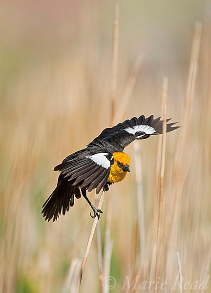 Yellow-headed Blackbird (Xanthocephalus xanthocephalus), male displaying, Mono Lake Basin, California, USA