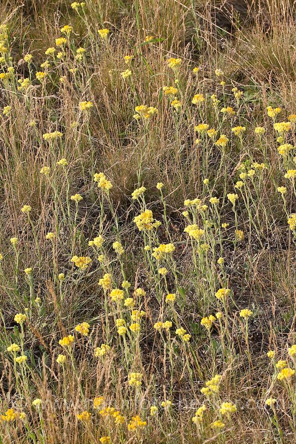 Sand-Strohblume, Sandstrohblume, Strohblume, Helichrysum arenarium, Yellow Everlasting Daisy, Everlasting Flower