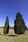Israel, Menashe Heights, two Cypress trees in Emek Hashalom