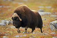 Muskox bull (Ovibos moschatus) walking across arctic tundra, Canada. Fall.