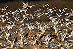 A flock of snow geese takes flight in Bosque Del Apache National wildlife Refuge New Mexico, USA. Thousands of geese take off at the same time in a spectacle known as a fly out.  This happens every morning in late fall and early winter here, as the geese leave nighttime roosting locations to feed in nearby fields.  Photo by Gus Curtis