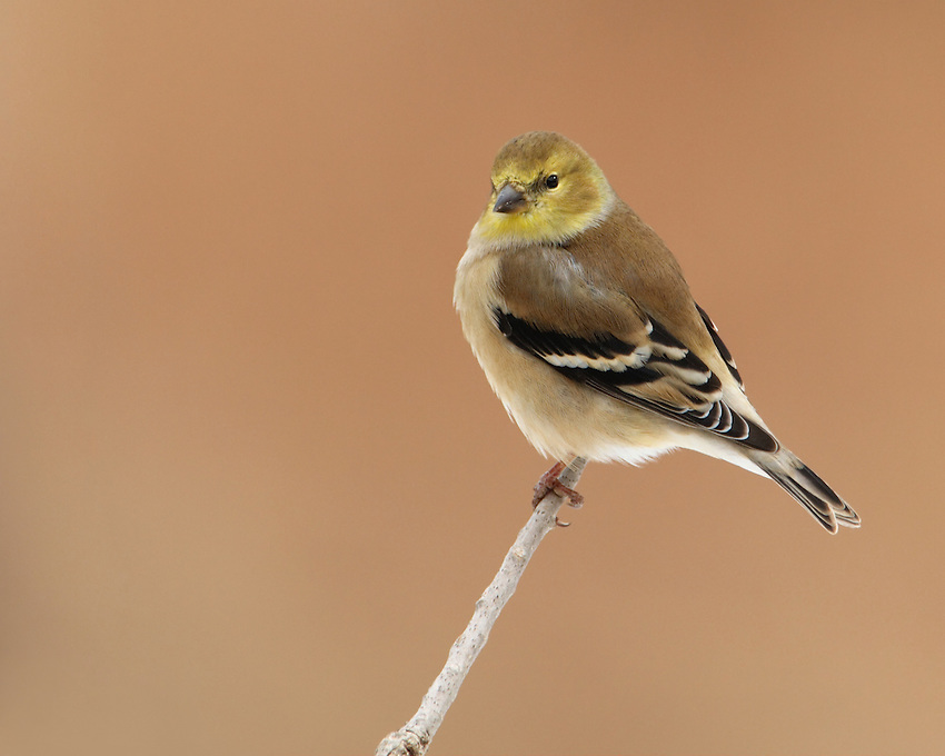 American Goldfinch in its winter plumage.